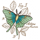 Luna Moth Illustration